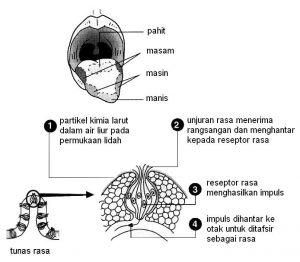 Nota Padat Sains Tingkatan 2 Yang Sangat Penting Siti Sains Nota Tingkatan 2 Bab 1 organ organ Deria